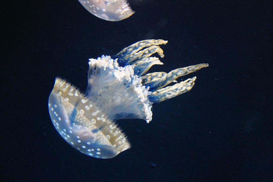 Jellyfish Photograph