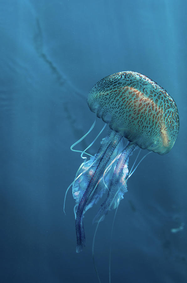 Jellyfish On Blue Photograph by William Rhamey - Azur Diving