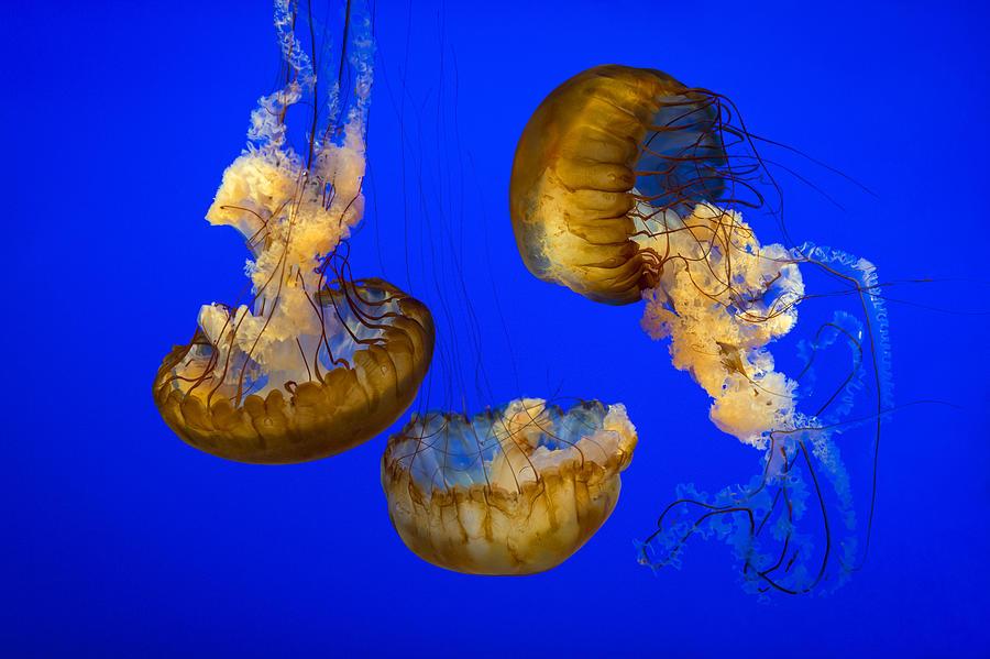 Jellyfish Photograph - Jellyfish Sea Nettle Marine Life - Ripleys Aquarium Gatlinburg Tn by Dave Allen