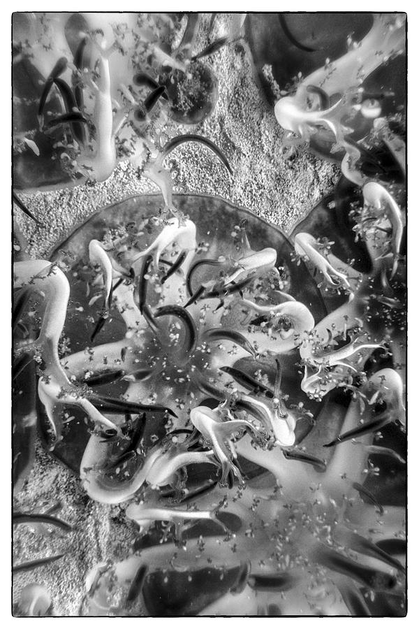 Fish Photograph - Jellyfish Upclose by Nancy Strahinic