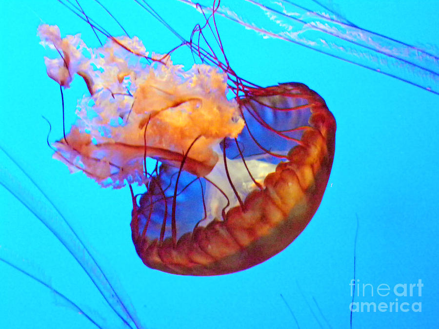 Sea Jellies Photograph - Jellyfish Vii by Elizabeth Hoskinson
