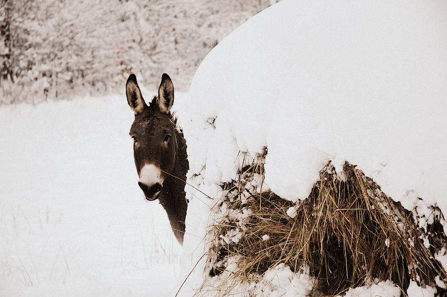 Donkey Photograph - Jenny by Cheryl Helms