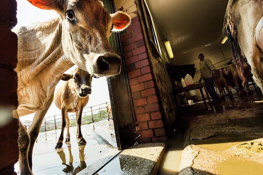 Jersey Cows On An Organic Dairy Farm Photograph by Matt Mawson