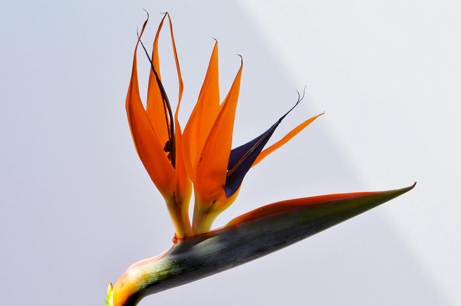 Bird Of Paradise Flower Photograph - Jewel Of The Tropics. by Terence Davis