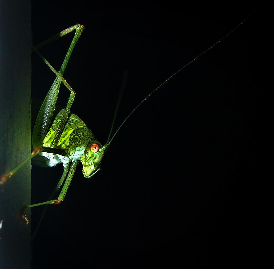 Jiminy Cricket Photograph