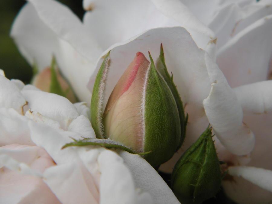 Flowers Photograph - Josephs Coat Rose by Marijo Fasano