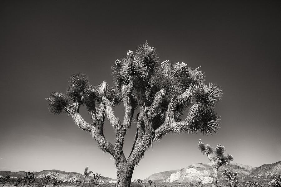 Desert Photograph - Joshua Tree 1 by Geoff Scott