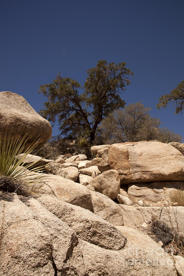 joshua Tree joshua Tree National Park Photograph - Joshua Tree by Amanda Barcon