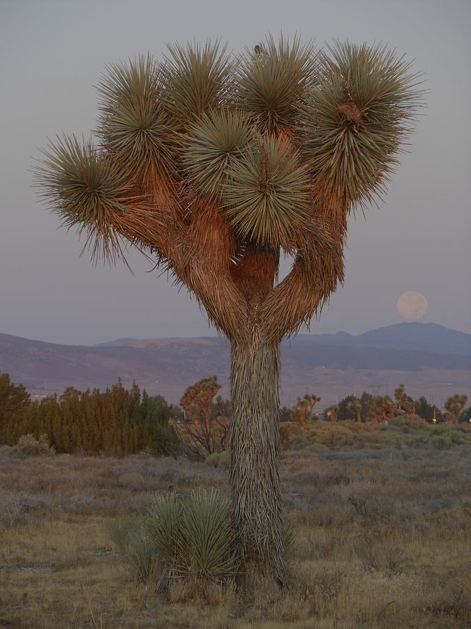Joshua Tree and Harvest Moon Setting by Don Kreuter