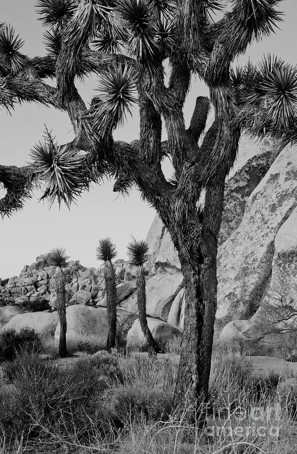 Joshua Tree Photograph - Joshua-tree Babies by Mae Wertz