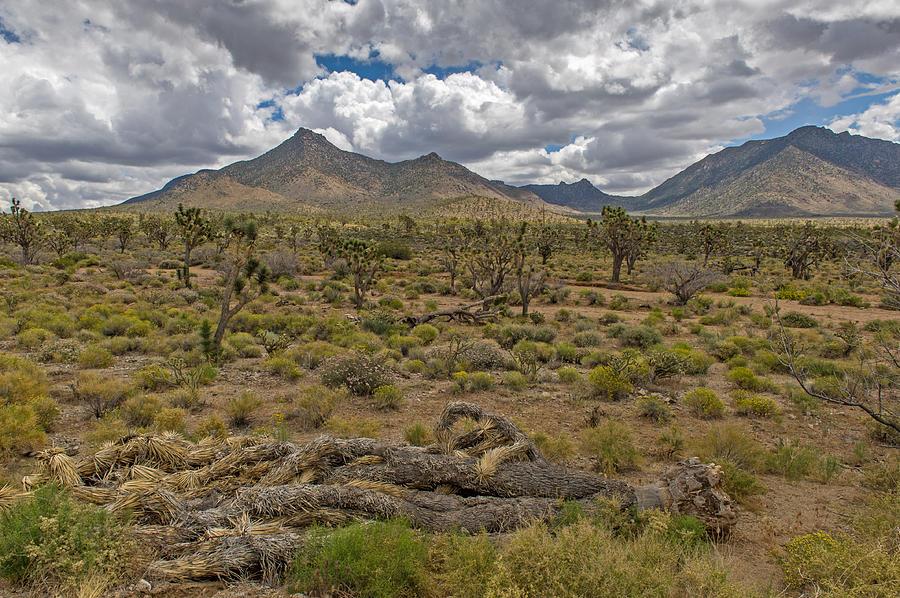 Joshua Photograph - Joshua Tree Forest In Arizona by Willie Harper