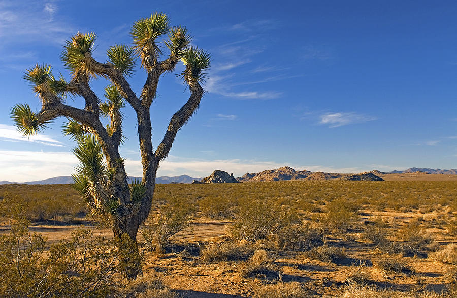 Joshua Tree Mojave Desert Photograph By James Steinberg
