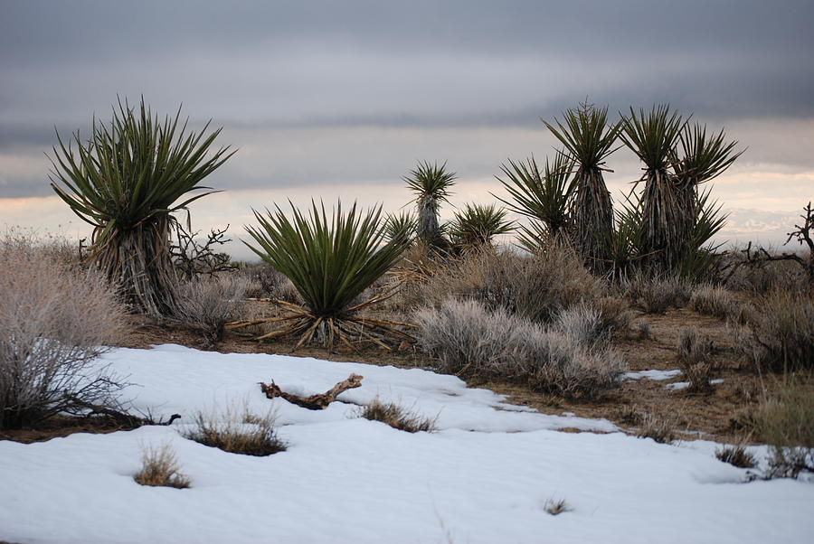 Joshua Trees Photograph - Joshua Trees And Snow by Pamela Schreckengost