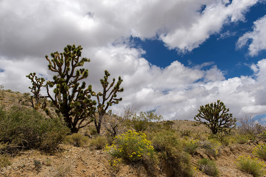 Joshua Photograph - Joshua Trees And Wildflowers by Willie Harper