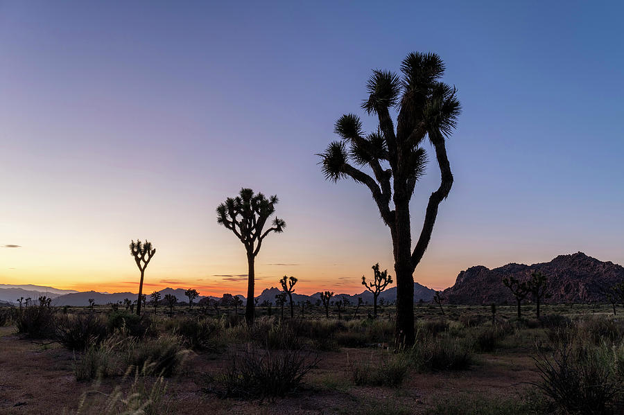 American Photograph - Joshua Trees (yucca Brevifolia) At Sunset by Michael Szoenyi