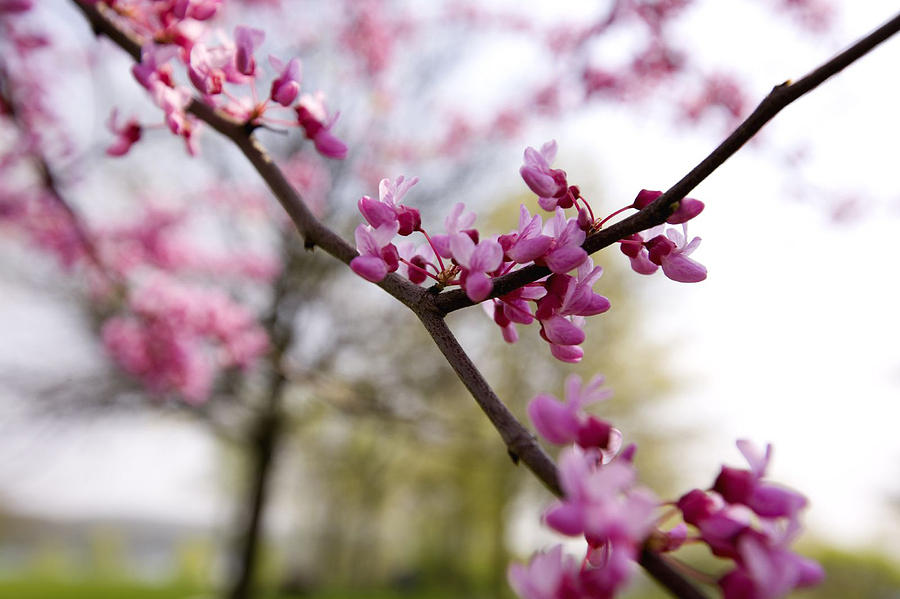 Park Photograph - Judas Tree Blossom by John Holloway