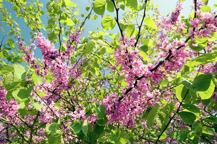 Judas Tree Cercis Siliquastrum Photograph By Dr John