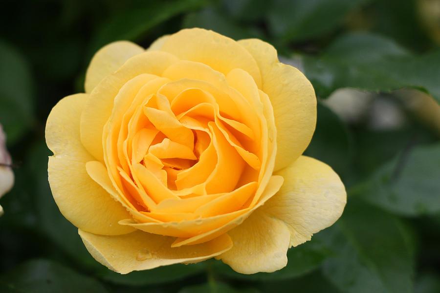 Julia Child Rose Photograph - Julia Child Floribunda Rose by Allen Beatty