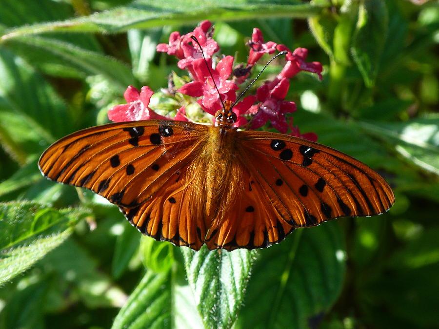 Butterfly Photograph - Julia by Krista Keck