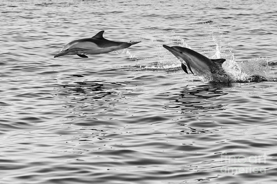 Common Dolphin Photograph - Jump For Joy - Common Dolphins Leaping. by Jamie Pham