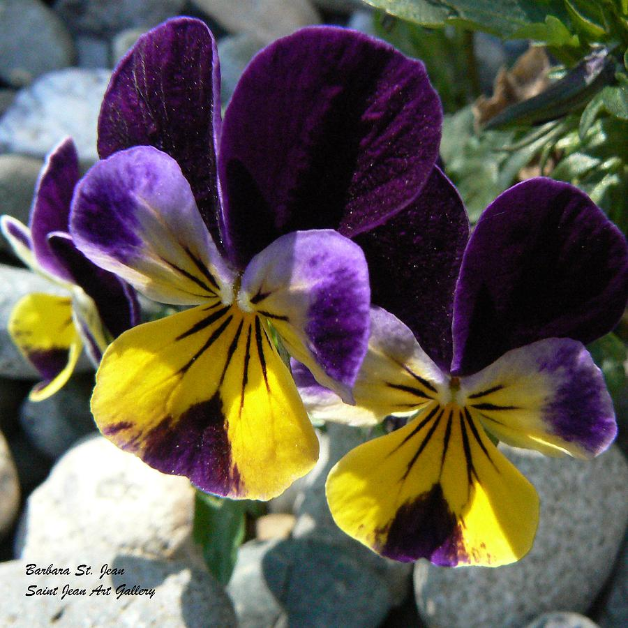 Pansy Photograph - Jump Up And Kiss Me by Barbara St Jean