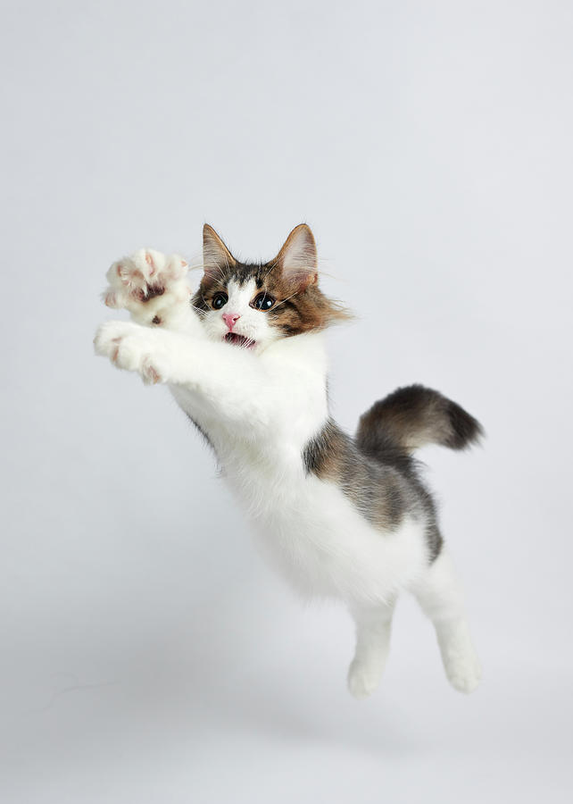 Jumping Kitten Photograph by Ryuichi Miyazaki