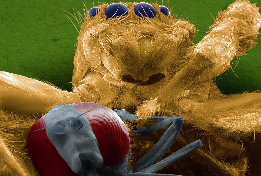 Salticidae Photograph - Jumping Spider Catching Prey by Thierry Berrod, Mona Lisa Production