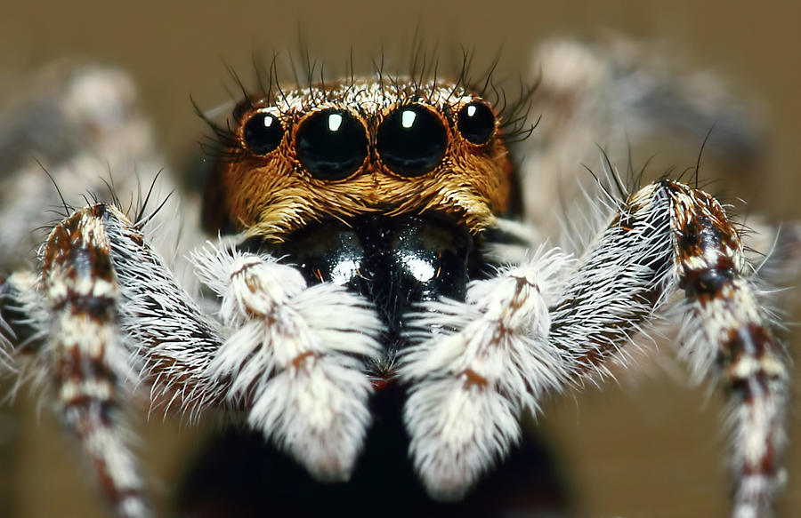 Jumping Spider Photograph by Karthik Photography
