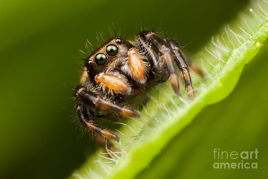 Clarence Holmes Photograph - Jumping Spider Phidippus Clarus I by Clarence Holmes