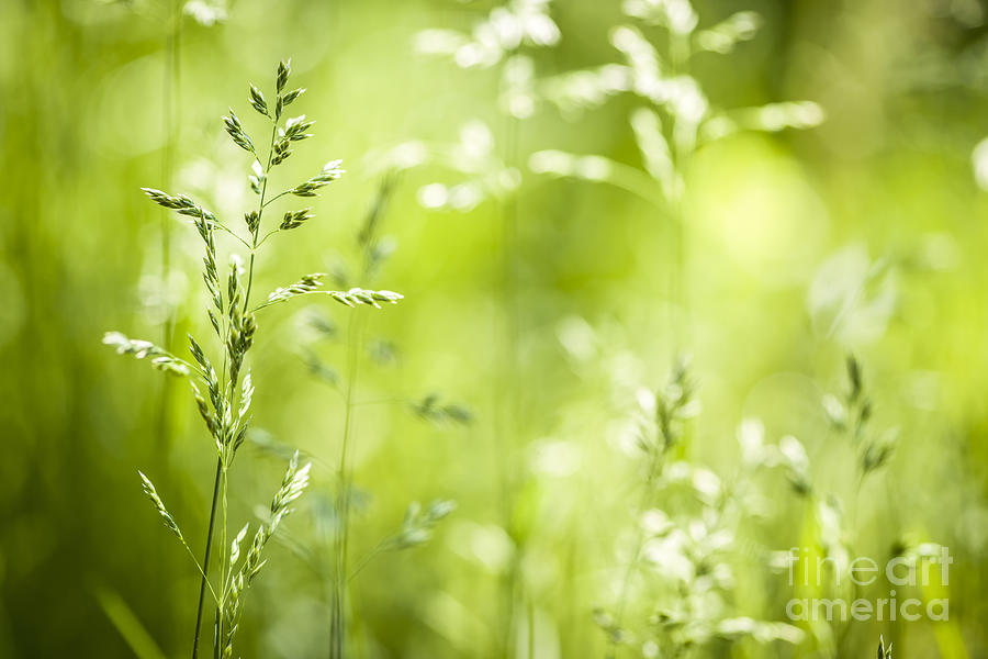 Green Photograph - June Grass Flowering by Elena Elisseeva