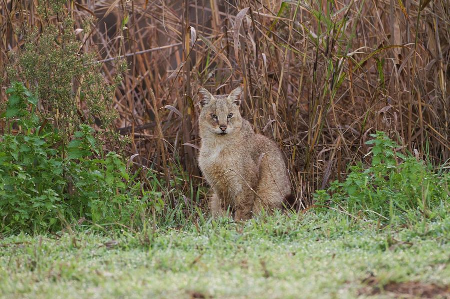 Jungle Photograph - Jungle Cat (felis Chaus) In The Wild by Photostock-israel
