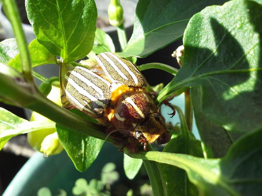 Botanical.  Insect. Beetle. Photograph - Jungle Warfare by Debbi Saccomanno Chan