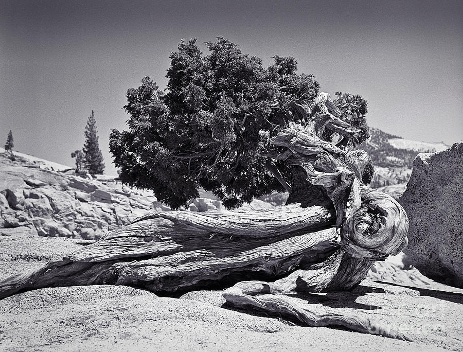 Juniper At Olmsted Point Yosemite Photograph By John Waclo