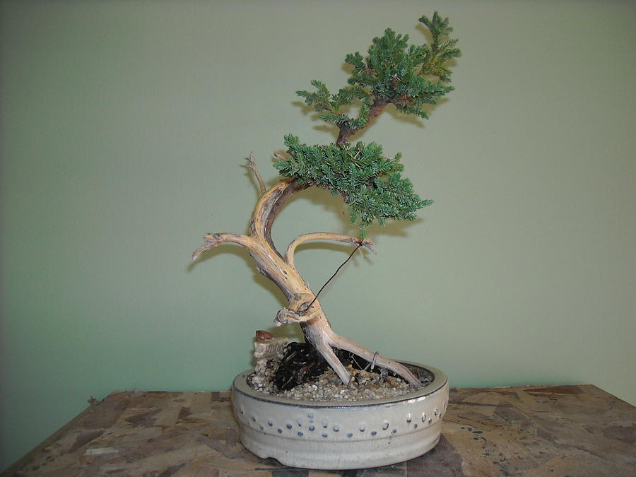 Juniper Bonsai Tree Lot S O Jin Photograph By Ricks Tree Art