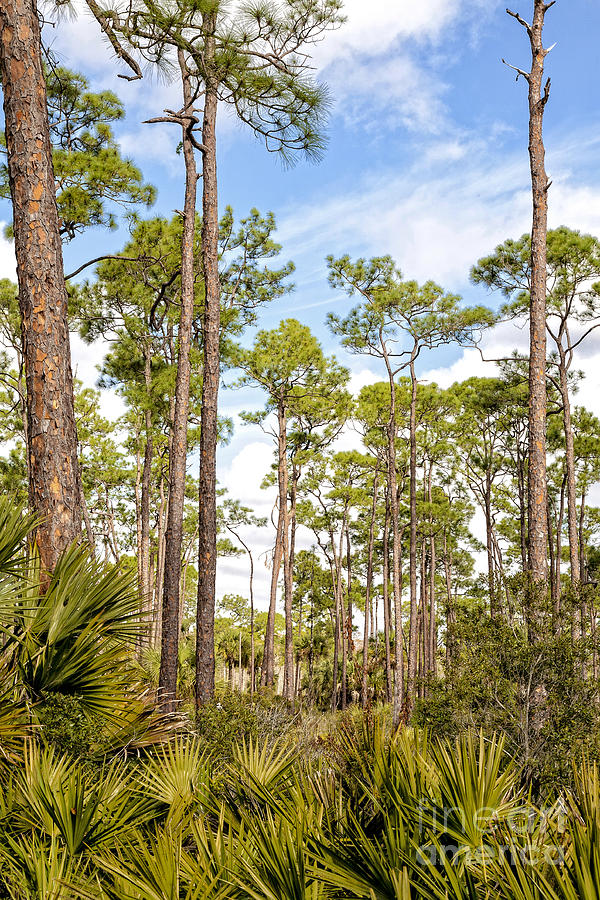 Saw Palmetto Photograph - Ancient Looking Florida Forest At Aubudon Corkscrew Swamp Sanctuary by William Kuta