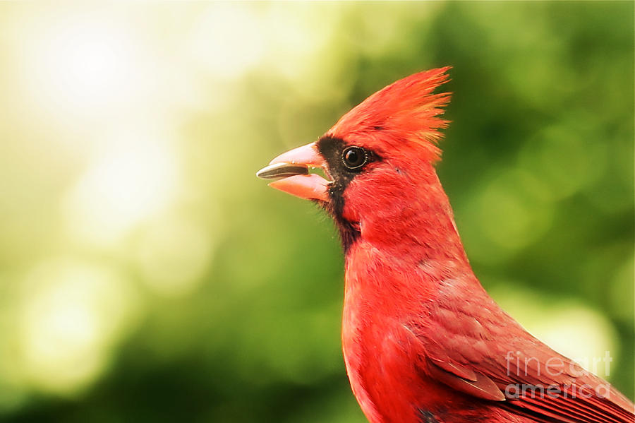 Cardinal Bird Nature Wildlife Photograph - Just A Bite by Brenda Schwartz