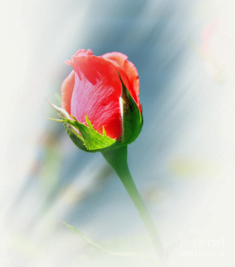Rose Photograph - Just A Bud by Judy Palkimas