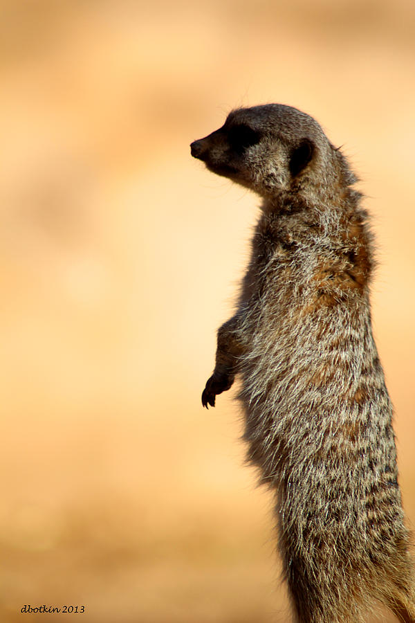 Zoo Photograph - Just A Meerkat by Dick Botkin