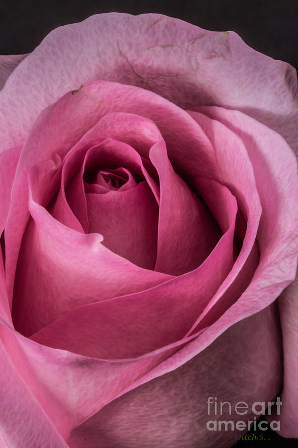 Rose Glass Art - Just A Rose by Mitch Shindelbower