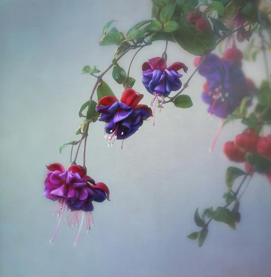 Fuchsia Photograph - Just Because by Kim Hojnacki