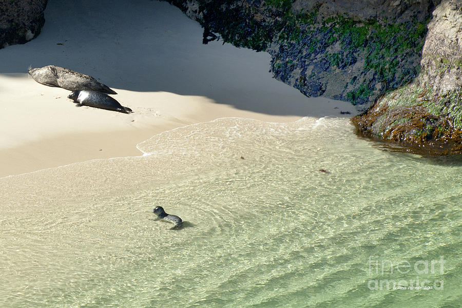 Big Sur Photograph - Just Born Baby Sea Lion Pup With Mom And Dad Napping On The Beach by Artist and Photographer Laura Wrede