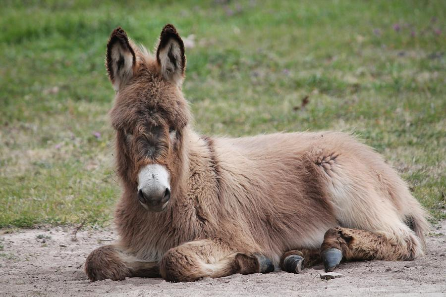 Donkey Photograph - Just Chillin by Lorri Crossno