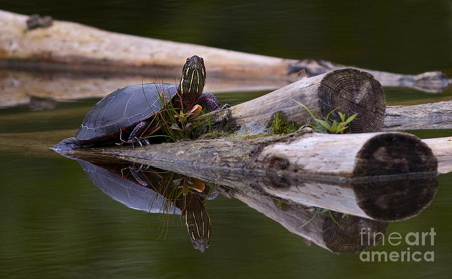 Midland Painted Turtle Photograph - Just Chillin.. by Nina Stavlund