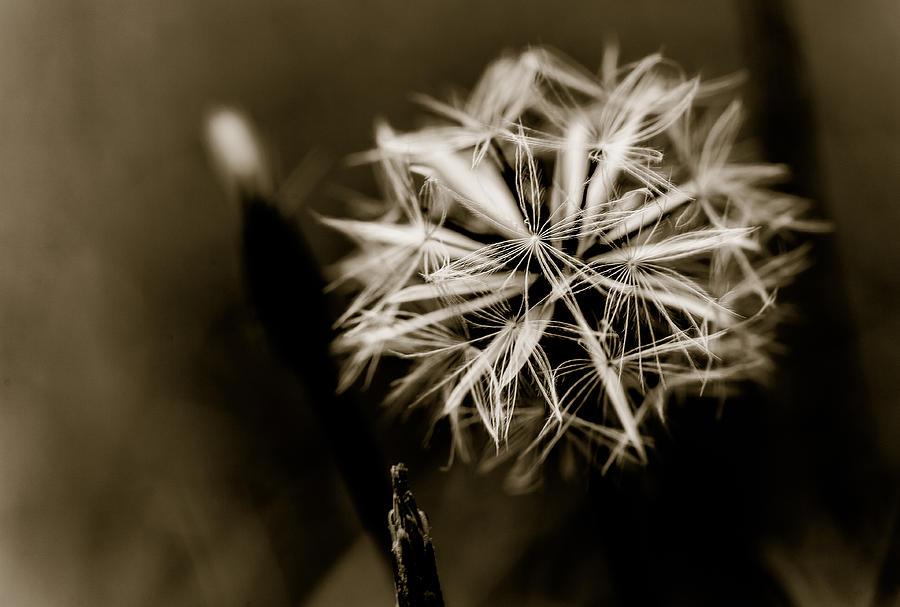Flower Photograph - Just Dandy Dandelion by Isabel Laurent