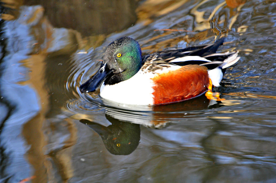 Duck Photograph - Just Ducky by Marty Koch