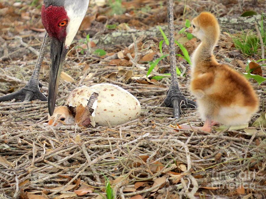 Sandhill Crane Photograph - Just Hatching by Zina Stromberg
