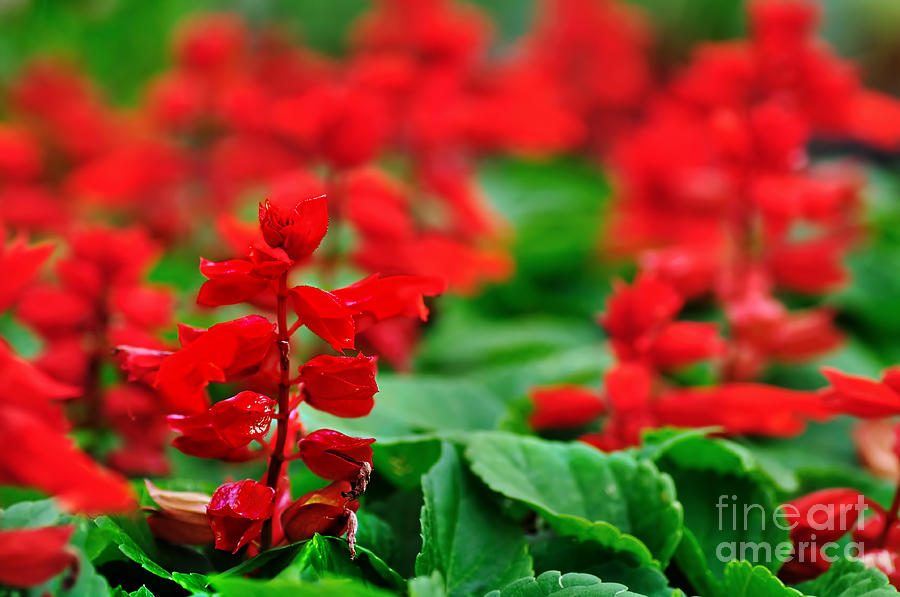 Red Flowers Photograph - Just Red by Kaye Menner