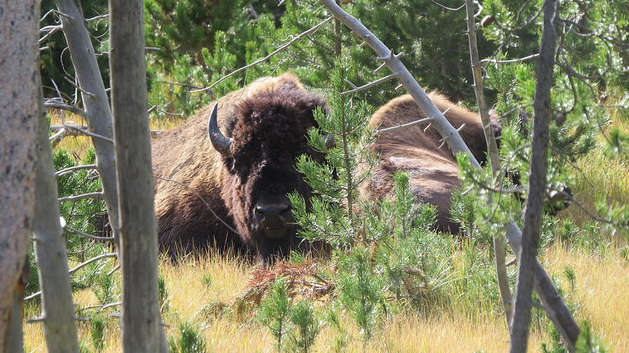 Buffalo Photograph - Just Relaxing by Diane Mitchell