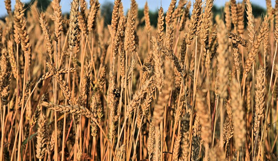 Just Wheat Photograph - Just Wheat  by JC Findley
