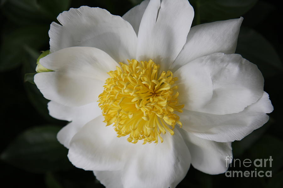 Peony Photograph - Just White by Christiane Schulze Art And Photography